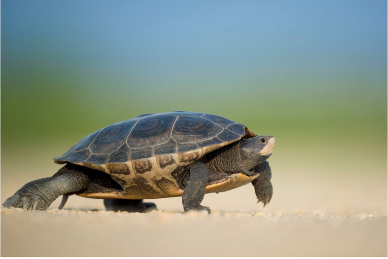 Slow Moving Turtle